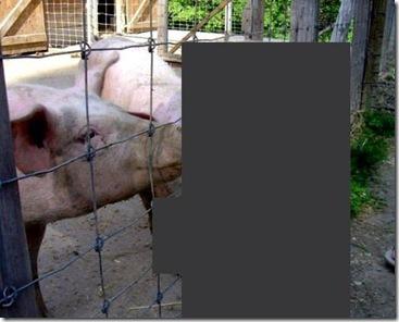 culpable-afluenza-porcina-crop